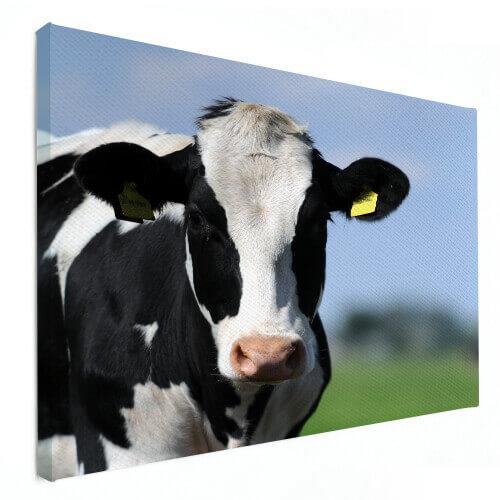 dierenfoto op canvas koe